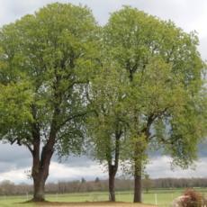 arbres-parc-du-chateau-de-lamenay-sur-loire