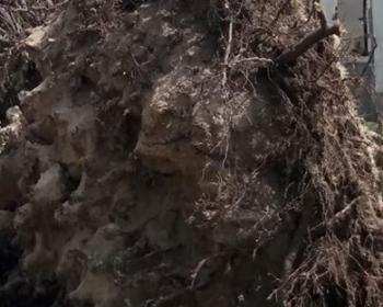 Arbre déraciné suite à la tornade qui s'est abattu à Saint-Éloi en août 2019